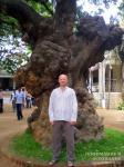 Дерево в Раманашраме
