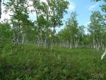 Камчатская лесотундра
