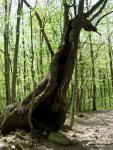Дерево дракон
